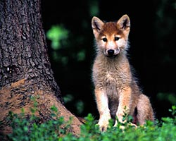 Image of a wolf pup