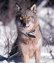 Eastern Timber Wolf Diet | RM.