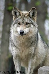 Image of a wolf: Frisco