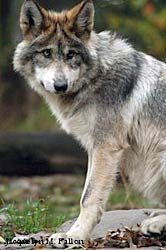 Image of a wolf: Raja