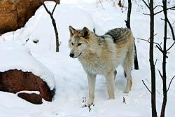 Image of a wolf: Waziyata