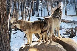 Image of Great Plains Wolves